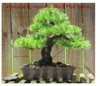 Developing Japanese Black Pine Bonsai