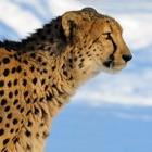 Leopard** icon
