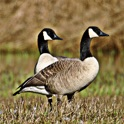 Geese - Great Sounds Flocking to Ur Phone icon