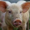 Hvad siger grisen og andre bondegårdsdyr