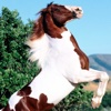Horse Breeds Collection Pro
