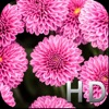 Pink Flowers HD WallPapers & Background Free Apps free for iPhone/iPad