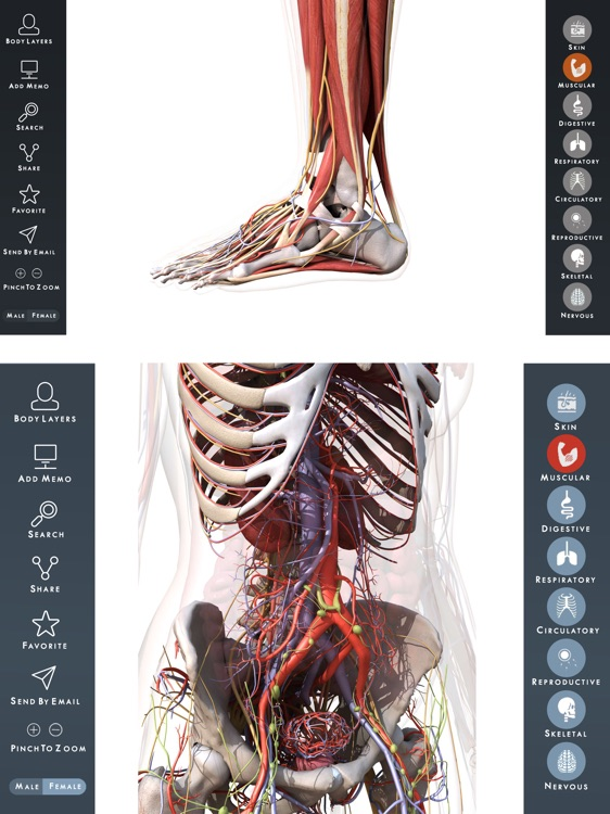 Muscle & Skeleton & Bone : 3d anatomy & physiology by El monfi Nezha