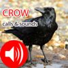 Crow Hunting Calls & Sounds - Real Sounds