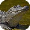 2016 American Alligator Swamp Hunt Big Buck