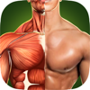 Anatomie Humaine - Muscles 3D