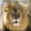 Lwy i inne dzikie zwierzęta