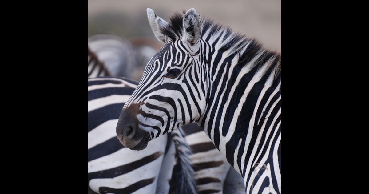 Zebra skin design