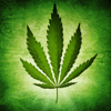 Cannabis Cultivation Manual:Horticulture and Medical