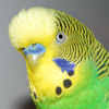 Budgie Bird Sound Effects - High Quality Bird Calls of a Parakeet