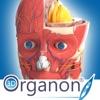 3D Organon Anatomy