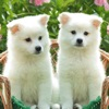 Cute Dogs and Puppy Wallpapers
