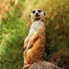 Meerkats Wallpapers HD: Quotes Backgrounds with Art Pictures