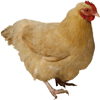 Chicken Calls - High Quality Chick Sounds From The Farm