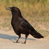 American Crow Sound Effects - High Quality Bird Calls of a Black Bird
