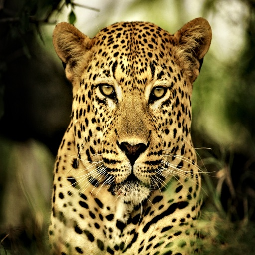 Leopard Sounds - Amazing Big Cat Effects By APH International