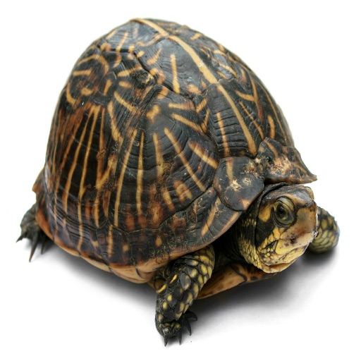 Ricochet Turtle iOS App