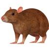 Rat 3D