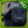 Cape Buffalo Simulator - HD